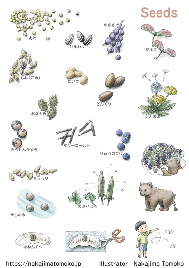 ドングリやアワ、ヒマワリ、ノササゲ、カエデ、モミ、ダイズ、タンポポ、フウセンカズラ、マリーゴールド、リュウノヒゲ、キュウリ、ヤシノミ、カタバミ、クマノフン、ハネフクベなどのタネのリアルでかわいい児童書の自然のイラスト  Illustration of various seeds